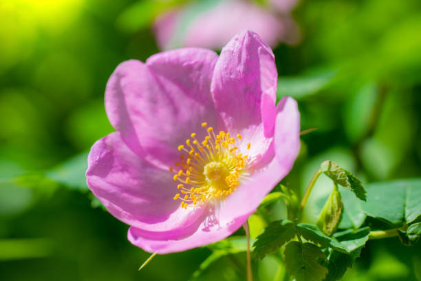 Blooming pink wild rose spring day Blooming pink wild rose spring day close-up on a blurred background. dog rose stock pictures, royalty-free photos & images
