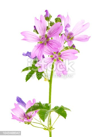 Blooming plant of mallow isolated on white background, Malva sylvestris
