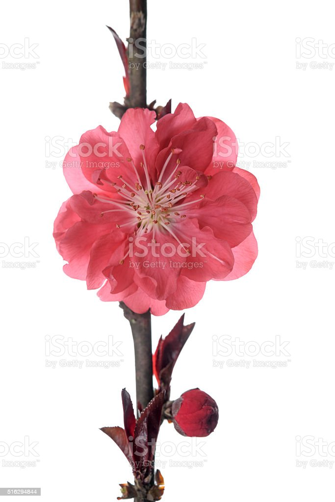 Blooming plum blossom in spring stock photo