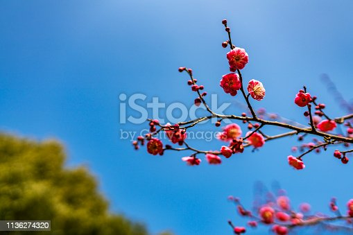 Plum blossoms blooming cleanly.