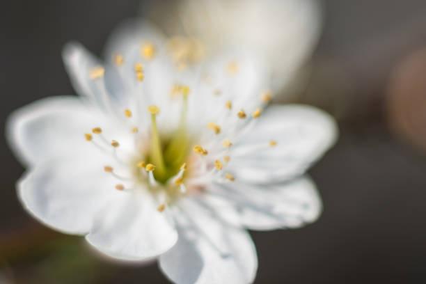 kwitnąca śliwka makrofotografia – zdjęcie