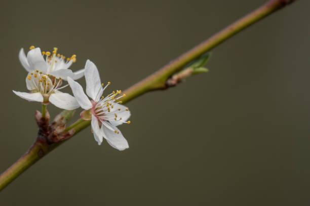 kwitnąca śliwka – zdjęcie
