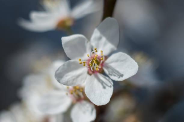 Kwitnąca śliwa kilka kwiatów – zdjęcie