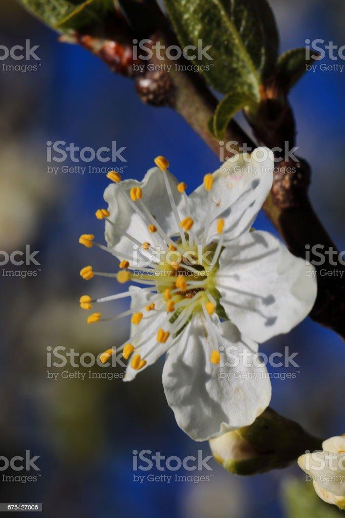 Çiçek açan erik ağacı makro royalty-free stock photo