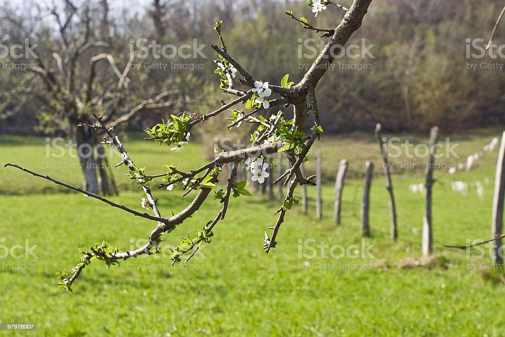 Blooming plum tree royalty-free stock photo