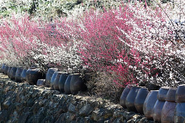 blühende bäume und traditionellen tonwaren plum  - pflaumen wände stock-fotos und bilder
