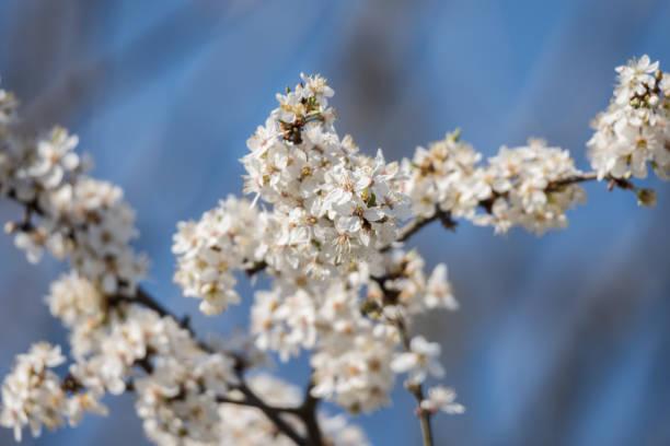 Kwitnące śliwki – zdjęcie