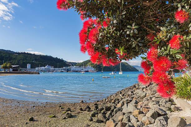 Blooming pohutukawa tree at Picton marina stock photo