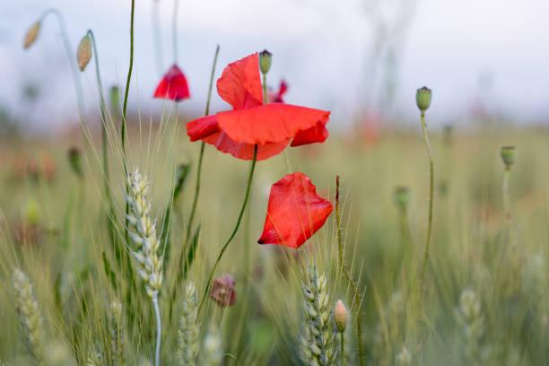 Blühende Mohnblumen – Foto