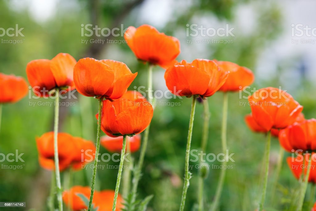 Blooming Poppy Flowers Stock Photo More Pictures Of Agriculture