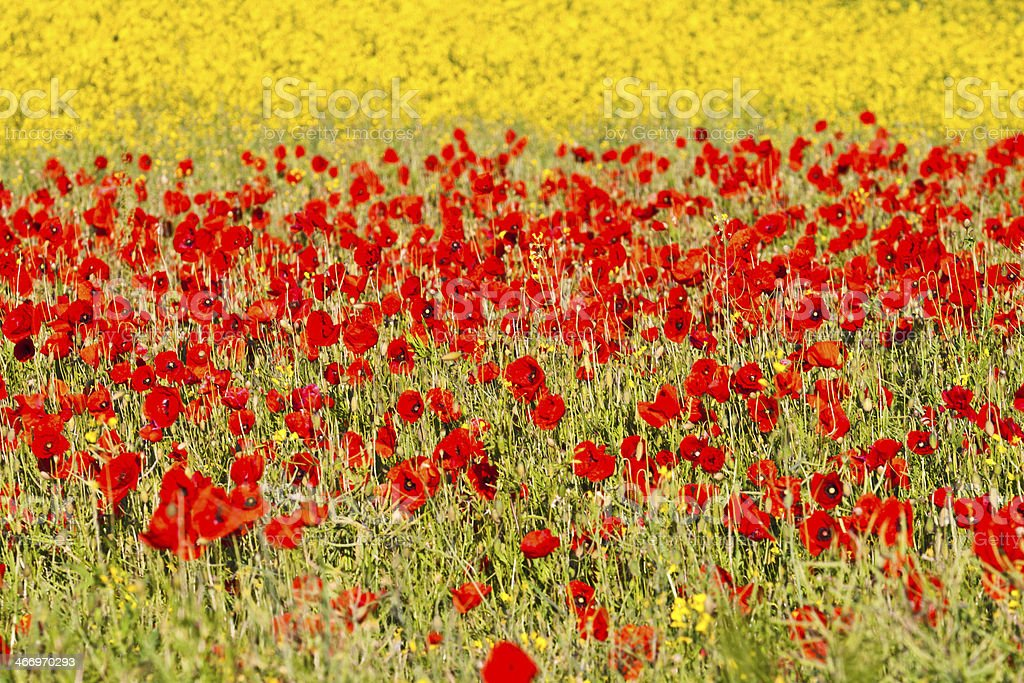 blooming poppy flowers with yellow rape royalty-free stock photo