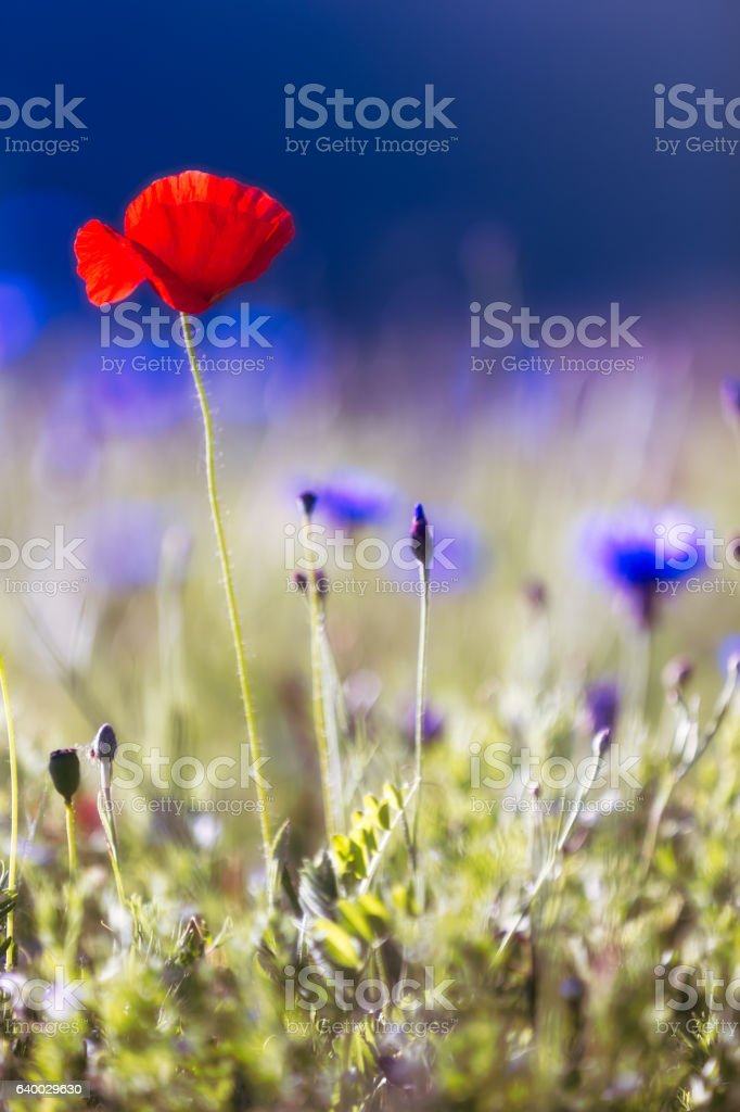 Blooming poppy with blue background stock photo
