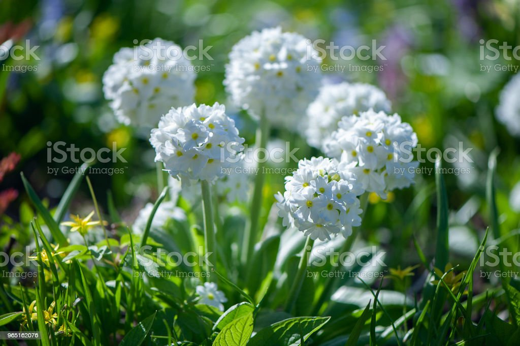 Blooming primula denticulata white in bright spring greens. Spring summer background zbiór zdjęć royalty-free