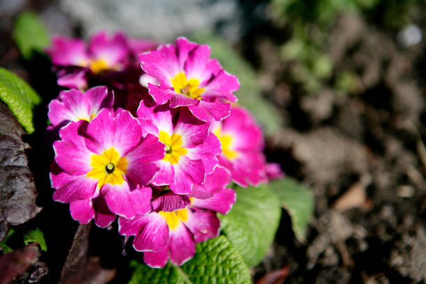 Blooming Primula flowers A DSLR photo of beautiful primula flowers in spring. Shallow depth of field. primula stock pictures, royalty-free photos & images