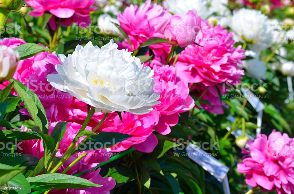 Blooming purple and white peony flowers in the garden stock photo