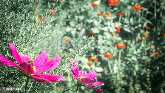 istock Blooming purple flower on green backdrop 1252903133