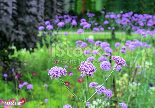 Blooming purple flowers of verbena bonariensis in the summer garden.