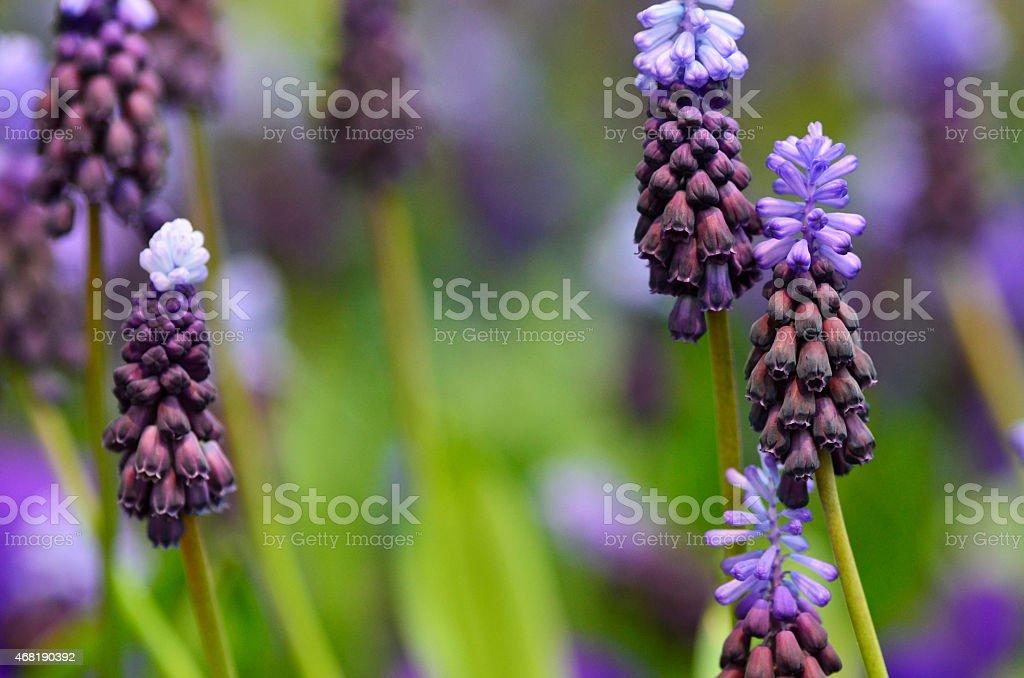 Blooming Purple Grape Hyacinth in Springtime Garden stock photo