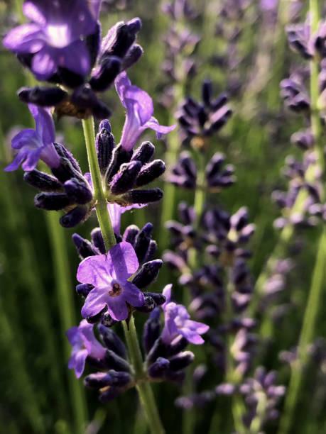 Blooming purple lavender flower stock photo