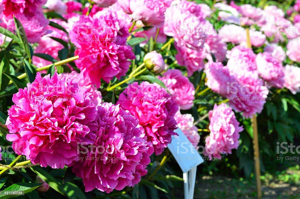 Blooming purple peony flowers stock photo