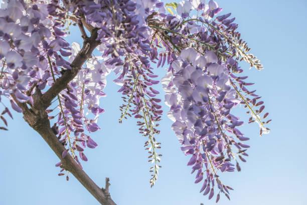 blühende Blume lila Glyzinien mit blauem Himmel – Foto