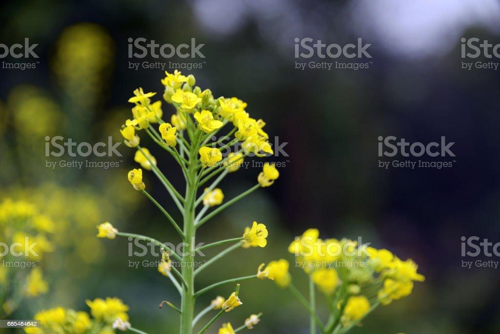 Blooming rape flowers. foto de stock royalty-free