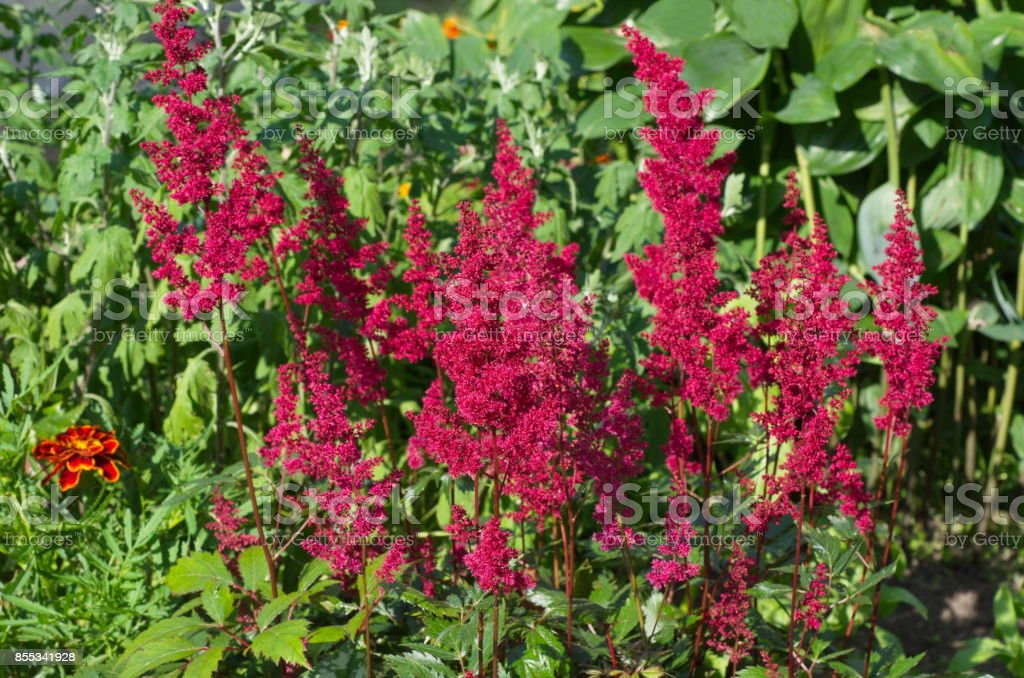 Blooming red astilba stock photo