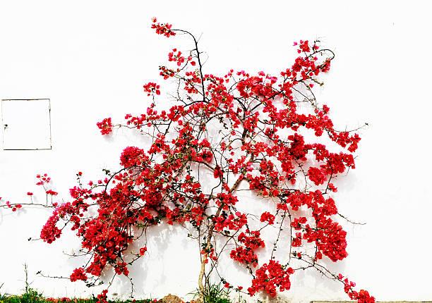 Blühende rote Bougainvillea gegen eine weiße Wand – Foto