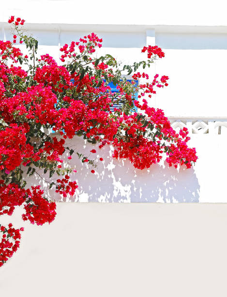 blooming red bougainvillea flowers at Koufonisia islands Cyclades Greece stock photo