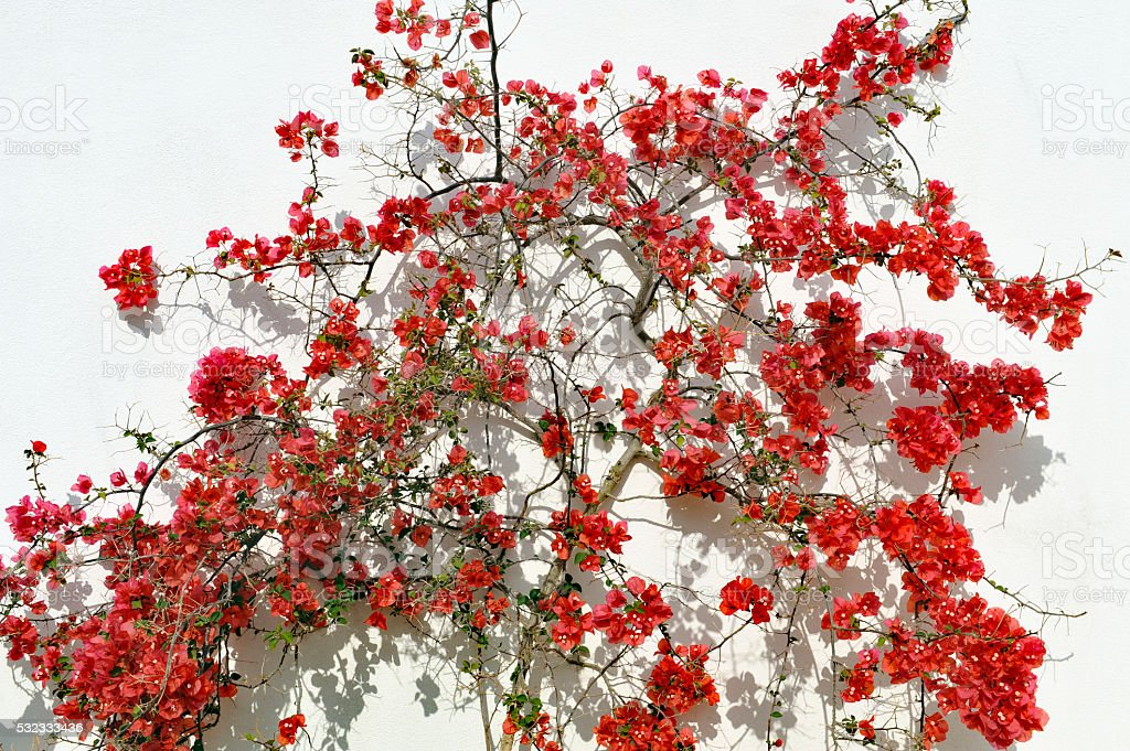 Blooming red Bougainvillea stock photo