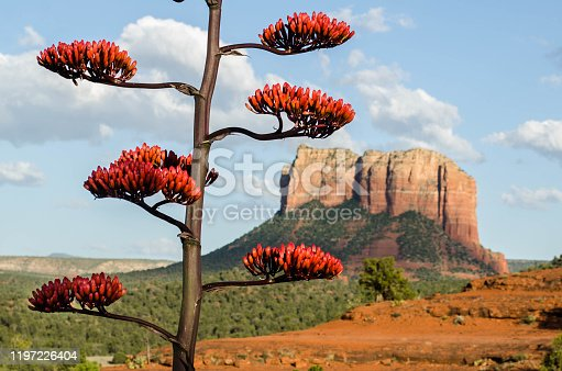 This agave plant is sometimes called a Century Plant because of how long the plant takes to flower. Courthouse Butte is visible in the background