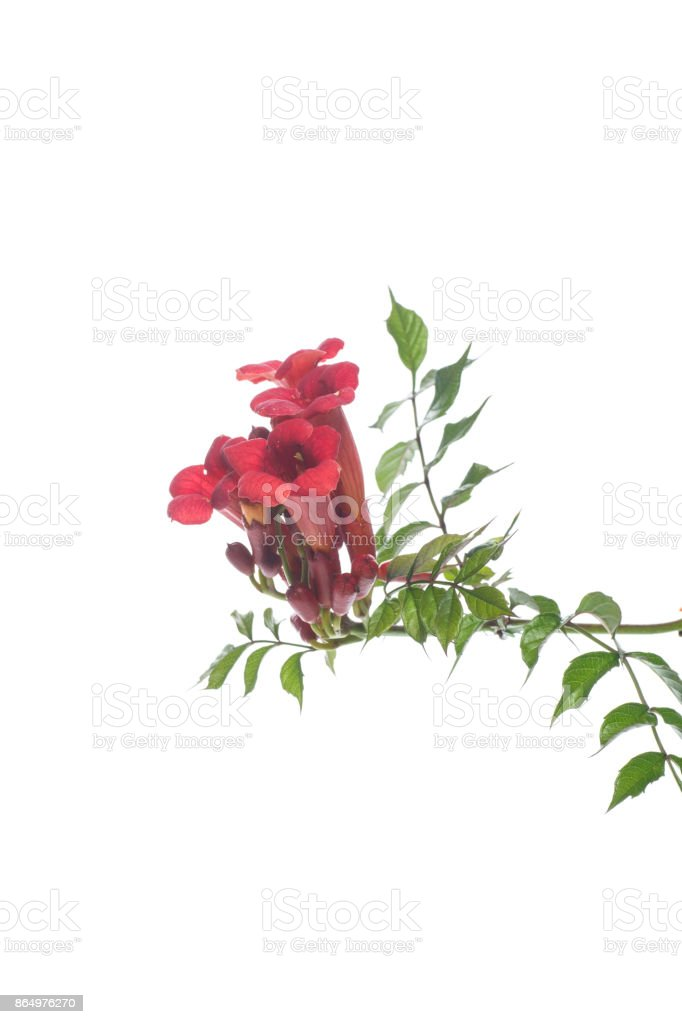 blooming red flower Campsis stock photo