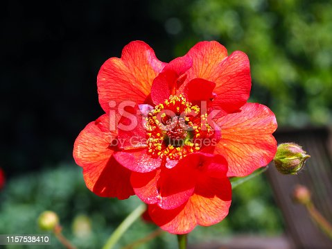 Close-up of a blooming red Gaum flower on a sunny day during Spring time