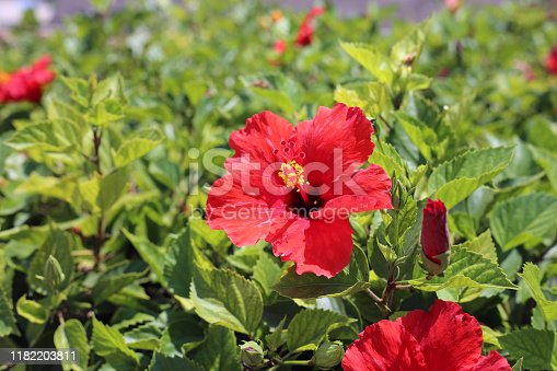 Bush with blooming red hibiscus flowers with yellow pollen in them. Around the exotic tropical flowers you can see plenty of green leaves. Photographed during beautiful sunny summer day in Cyprus.