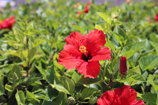 Blooming Red Hibiscus Flowers with Plenty of Leaves, Photographed in Cyprus stock photo