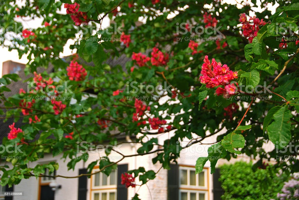 Blooming red horse chestnut infront of a Farm House. stock photo
