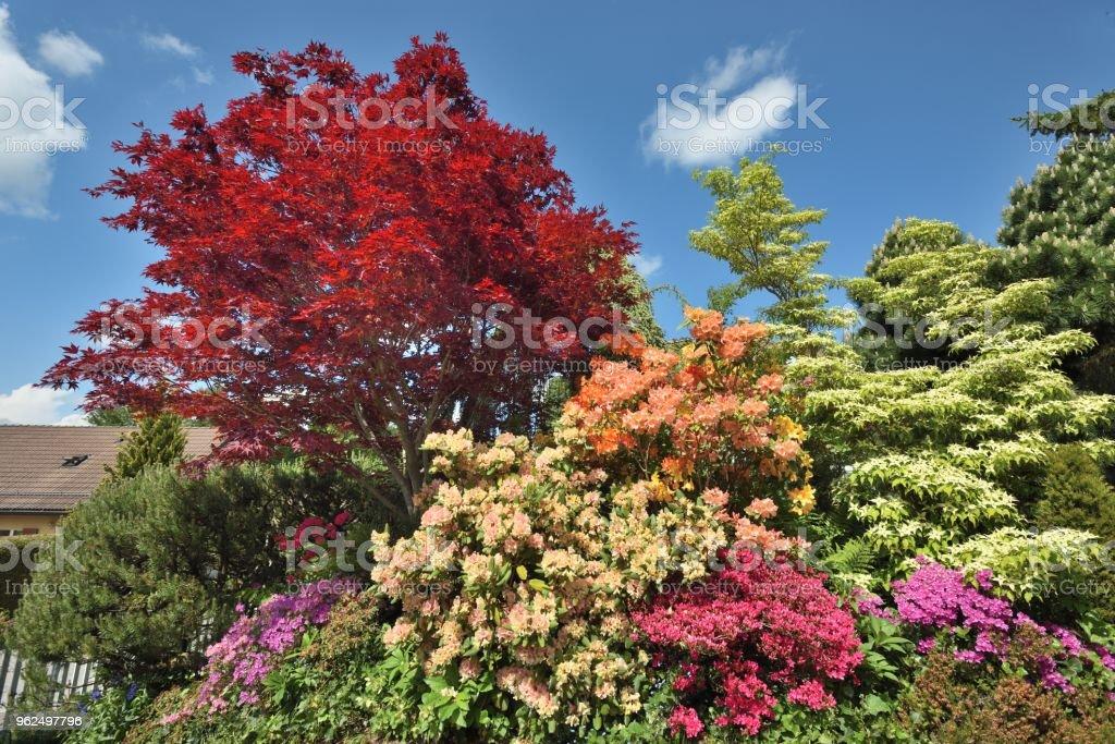 Folhas vermelhas florescendo no início verão-Red maple - Foto de stock de Beleza royalty-free