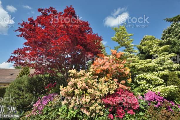 Foto de Folhas Vermelhas Florescendo No Início Verãored Maple e mais fotos de stock de Beleza