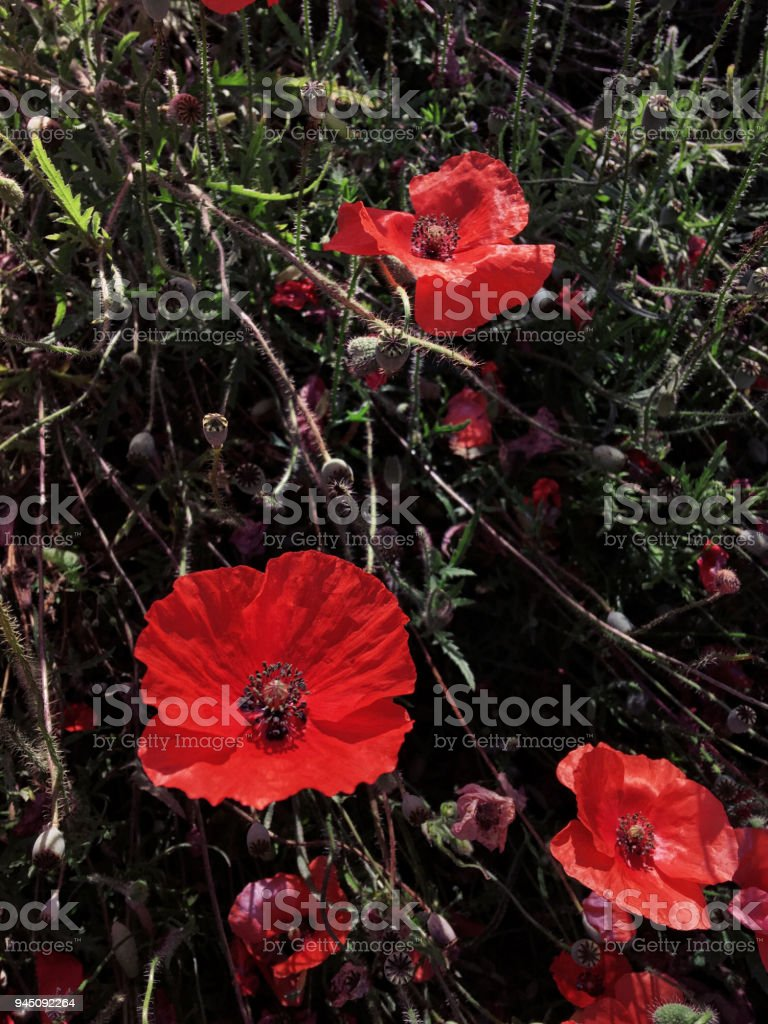 Blooming red poppy flowers in a field stock photo