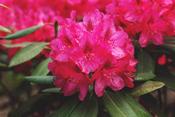 blooming red rhododendron flower - evergreen plant stock photos and pictures
