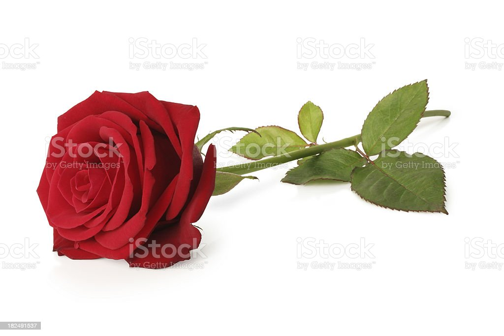 Blooming red rose and stem isolated on a white background royalty-free stock photo