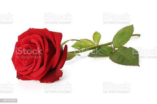 Blooming red rose and stem isolated on a white background picture id182491537?b=1&k=6&m=182491537&s=612x612&h=37x6ds2mekf4chgbzmvgoprop 6izocnq4balpu3cky=