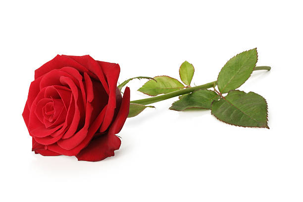 Blooming red rose and stem isolated on a white background picture id182491537?b=1&k=6&m=182491537&s=612x612&w=0&h=z57usty1wvmoufoseaiqgttfrqgu s5wxpk6xud23bc=