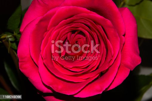 blooming red rose Bud on blurred background