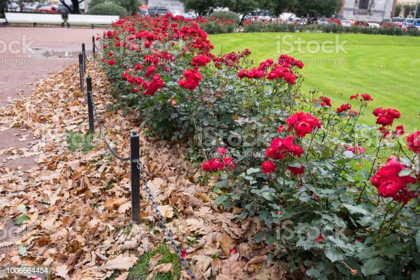 Photo of Blooming Red Roses Bushes Buried With Beige Dry Oak Leaves In Public Park. Green Lawn Behind The Flowers. Autumn City Contrasts. Urban Street On Background. Focus On Foreground. Overcast Day.
