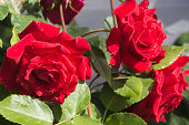 Blooming red roses in the garden on a sunny day after rain. Birthday, Mother's, Valentines, Women's, Wedding Day concept