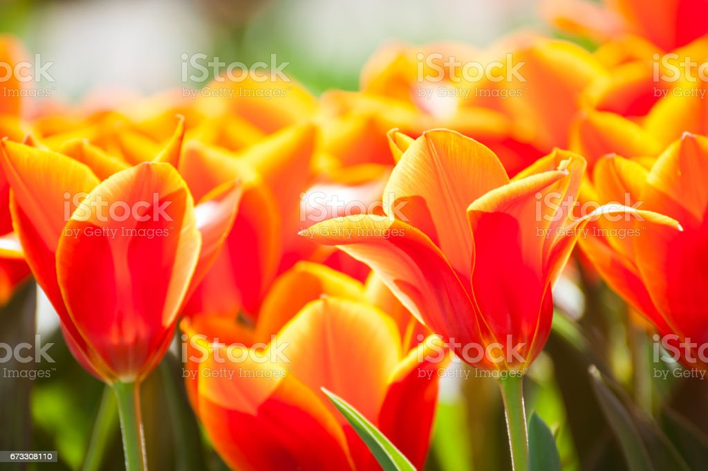 Blooming red tulip. stock photo