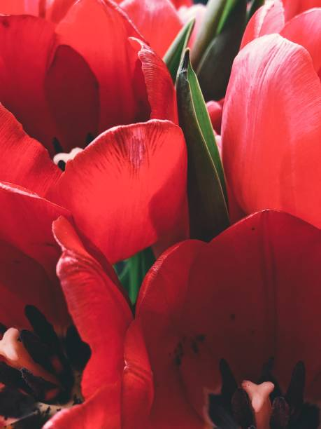 Blooming red tulips stock photo