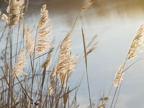 Blooming reed inflorescences on the banks of a river or lake. Soft light.