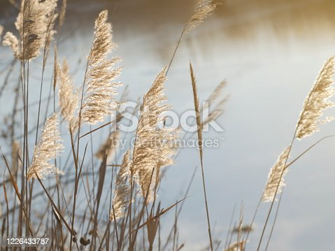 istock Blooming reed inflorescences on the banks of a river or lake. Soft light. 1226433787